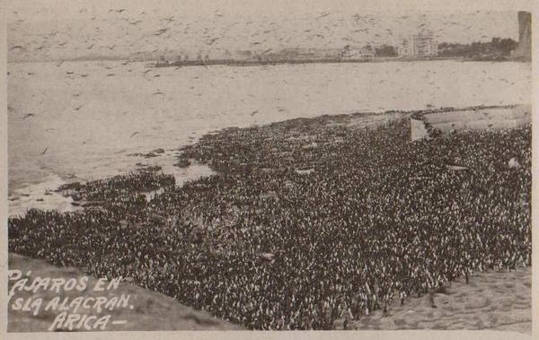 Arica - Pájaros en la isla Alacrán.