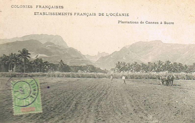 Papeete -  Une plantation de cannes à sucre