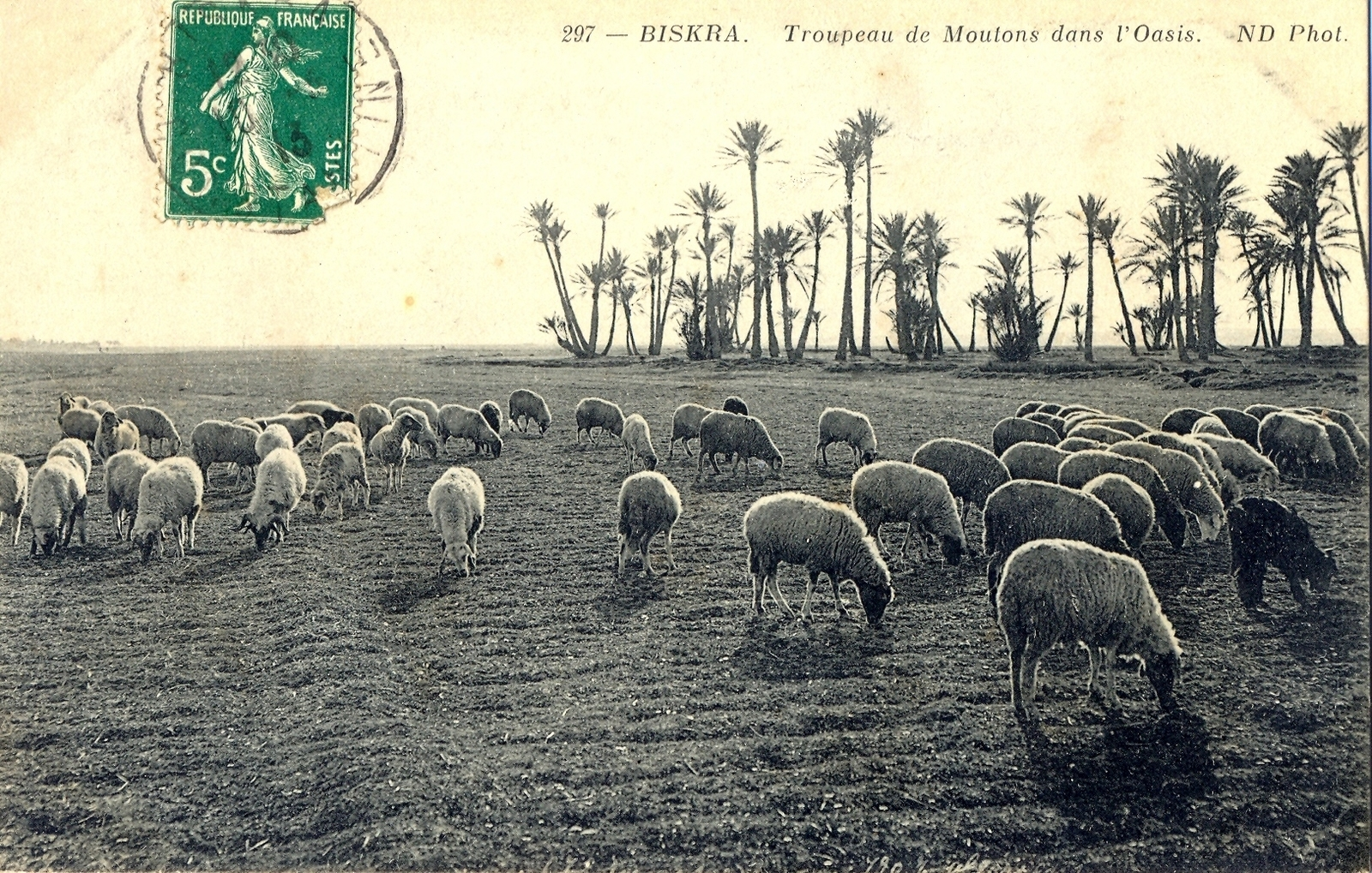 Biskra - Troupeau de moutons dans l'oasis